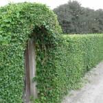 Забор из растений и кустарников: украшаем участок