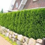 Как посадить зеленый забор — живая изгородь из растений